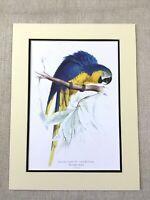Antico Pappagallo Stampa Ara Pappagalli Blu E Giallo Dorato Raro Esotico Uccelli