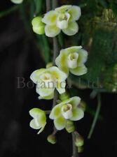 Botanica Ltd. Chiloschista viridiflava *Fragrant/Leafless* Species Orchid Plant