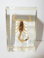 Golden Scorpion Mesobuthus martensii in small Block Education Insect Specimen