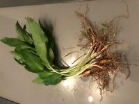 11 bulbes d'ail des ours sans traitements (Allium ursinum) ail sauvage perpétuel
