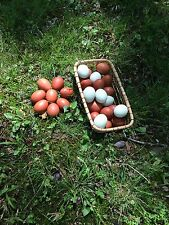 Mix of Blue Copper Marans and Easter Egger Hatching eggs