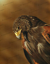'Harris Hawk Portrait' by Steven Lingham Ltd Edition Giclee Print Bird Wildlife