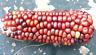 Corn Purple & Gold Dent - A Beautiful & Stunning Purple & Gold Corn Variety!!!