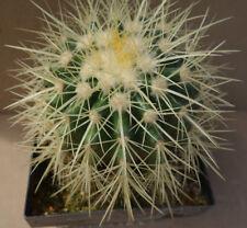 Kakteen – Kaktus – Echinocactus grusonii - etwa 10cm