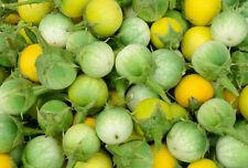 200 (!) Samen Thai-Aubergine (Solanum virginianum / xanthocarpum), Kantakari