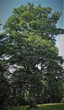 5 WHITE OAK TREES LIVE PLANTS STAVE SEEDLINGS SAPLINGS ACORN NUT SHADE TREE