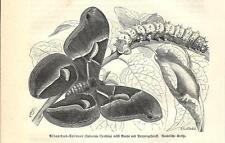 Stampa antica FARFALLE Saturnia cynthia BUTTERFLIES 1891 Old antique print