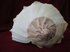 "L.13"" Rare Giant Dakshinavarti Conch /Dakshinavarti Shankha /Right Handed Conch"