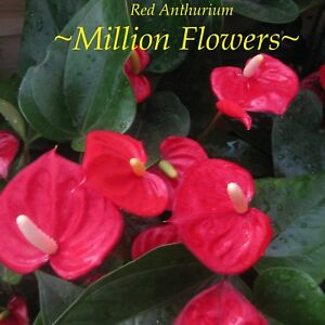 ~Million Flowers~ Red Anthurium NEW RELEASE MINIATURE Live Small Potted Plant