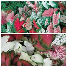 1-Caladium Bulb Mix Color -Bulb shady Plant! Soil/Pond Spring Shipping