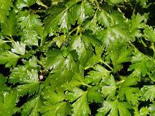 Parsley Seeds Dark Green Italian Flat Leaf 3,000 Seeds