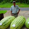 50 PCS Seeds Giant Watermelon Bonsai Rare Organic Fruit Plants Free Shipping New