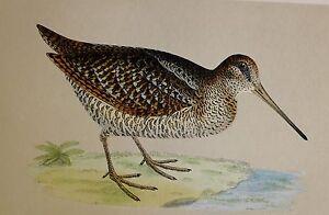 c1875 ANTIQUE PRINT ~ WOODCOCK HAND COLOURED British Birds Morris