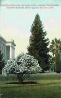 State Capital Grounds Sacramento CA Oleander Redwood Cypress Palm Postcard