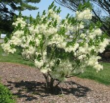 3 FRINGE TREE Chionanthus Virginicus Old Man's Beard White Flower Seeds *CombS/H
