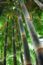 BAMBU + GRANDE del MUNDO dendrocalamus 10 semillas Seed