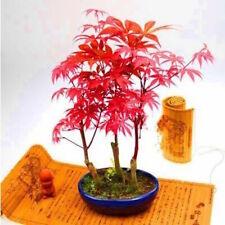 20 Bonsai Tree Seeds, Home Garden Maple Tree - Japanese Red Maple Sj