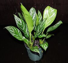 "Aglaonema Stripes 6"" Pot Chinese Evergreen Excellent Tropical House Plant Low Lt"
