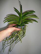 Neofinetia Blue Birds Hybride NEW Duft blühstarke Pflanze Orchidee Orchideen