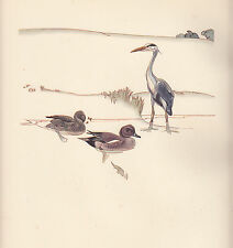 1937 BIRD PRINT ~ HERON & WIGEON WITH ECLIPSE PLUMMAGE