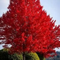 October Glory Maple Tree (4-5') Beautiful Fall Color Fast Growing