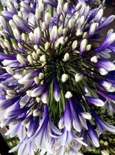 NEW! 3 Baby Plants Agapanthus Fireworks The Best Plant Chelsea 2019