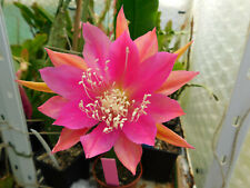 "Epiphyllum Blattkakteen Epicactus /""Lacky Paetz/"" Jungpflanzen"