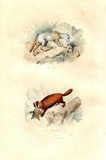 Gravure Animalière : ISATIS, BLAIREAU . Buffon 1853