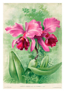 Cattleya Labiata Superba by Jean Linden Orchids A4 Art Print