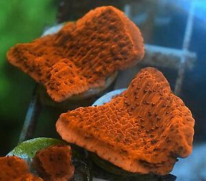 Red Plating Montipora, SPS Coral Frag