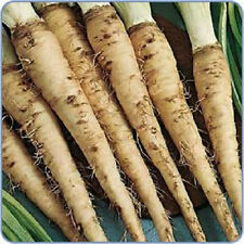 50 Mammoth Sandwich Island Salsify Vegetable Oyster Flower Seeds +Gift & CombS/H