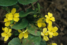 Goodenia ovata  (2 PACK) in 50mm forestry tube native plant groundcover