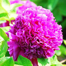 First red Peony 20 Seeds Chinese Peony Seeds Beautiful Garden Flower Blooming