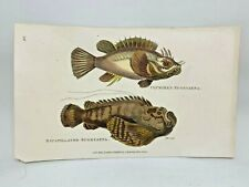 Original 1803 Shaw Hand Colored Copperplate Engraving Fish - Scorpion Fish