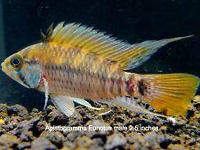 "New listing 3 Apistogramma Eunotus 1"" aquarium breed dwarf cichlids"