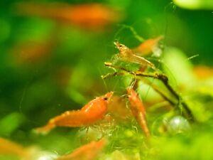 18+ Red Cherry Shrimp Culls, Neocaridina