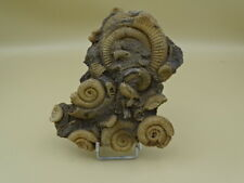 groupe d ammonites fossiles
