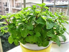 Peppermint seeds Menthe piperita Lydia. long-term herb seeds from Ukraine