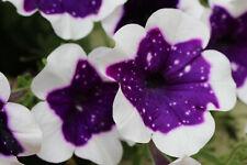 60 Samen von der Petunie Miss Marvelous großblumig