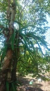 Dragon Fruit Cutting organically grown 25-30cm White flesh
