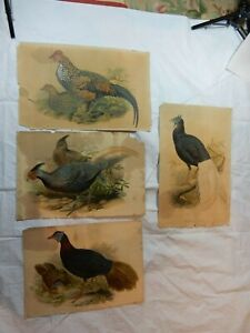 Collection of Possibly John Gould's Birds Of Europe Original Lithographs 1832-37
