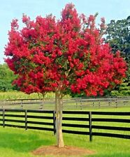Milk Crape Myrtle Cuttings Crepe Myrtle fast grow for rooting plant 10 Cuttings