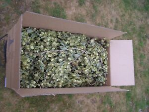 New dried Kentish Hop Bines / rustic interior / wedding arch fire place Garland