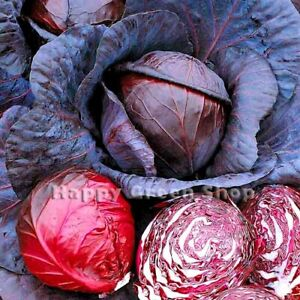 VEGETABLE - EARLY CROP - RED CABBAGE - RUPHUS- 800 seeds - Summer small cabbage