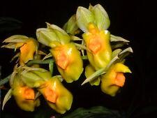 20 Catasetum expansum orchidea orchid orchids no stapelia huernia orbea