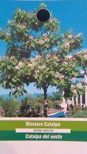 Western Catalpa Tree Live Flowering Trees Hardy Healthy New Catawba Landscaping