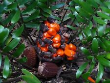 Zamia floridana Coontie 60 Seeds