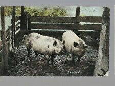 pk43390:Postcard-'Rooters' Pigs in Sty