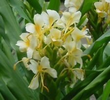 Hedychium Flavum Yellow Hawaii SPROUTING  Butterfly Ginger lily Bulb/Rhizome