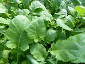 Texsel Greens Ethiopian or Mustard Collard - 100+ seeds - Semillas - Graines